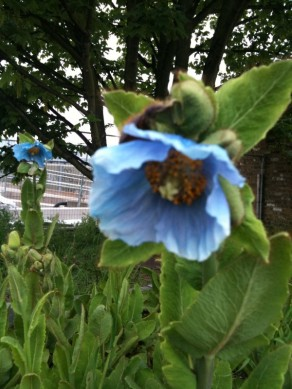 Meconopsis betonicifolia having a go in East London