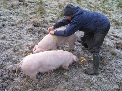 a tape measure to weigh the pigs