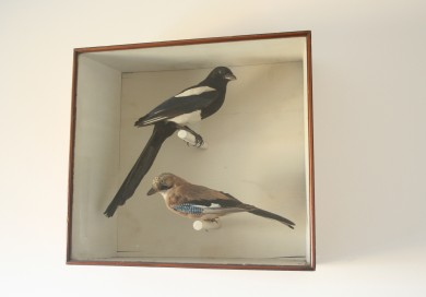 Taxidermy Magpie and Jay