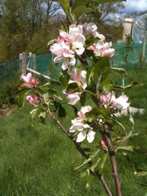 Welsh apple 'Croen Mochyn' in blossom