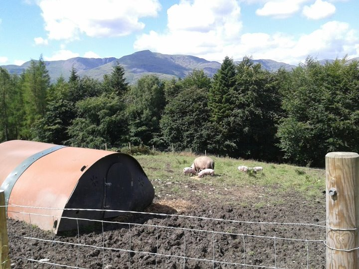 grizedale_pigs