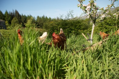 Our sadly deceased hens (stoats, foxes and badgers did well this year) , in the orchard,  2014
