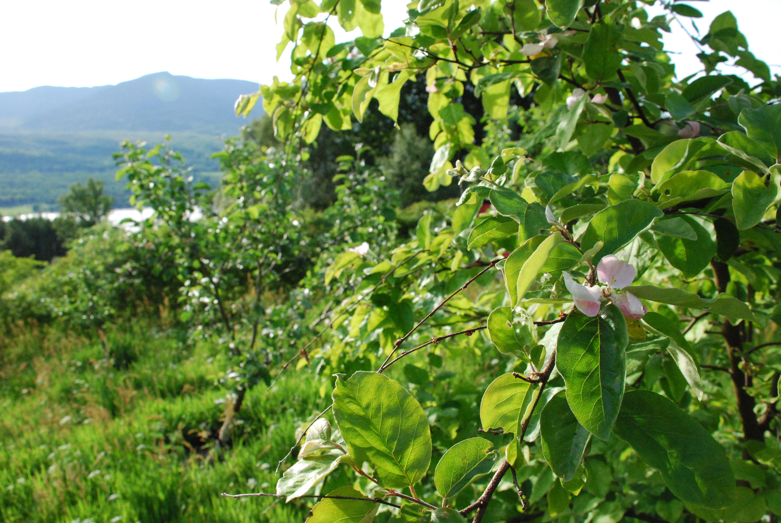 Quince 'Serbian Gold' in bloom in the orchard