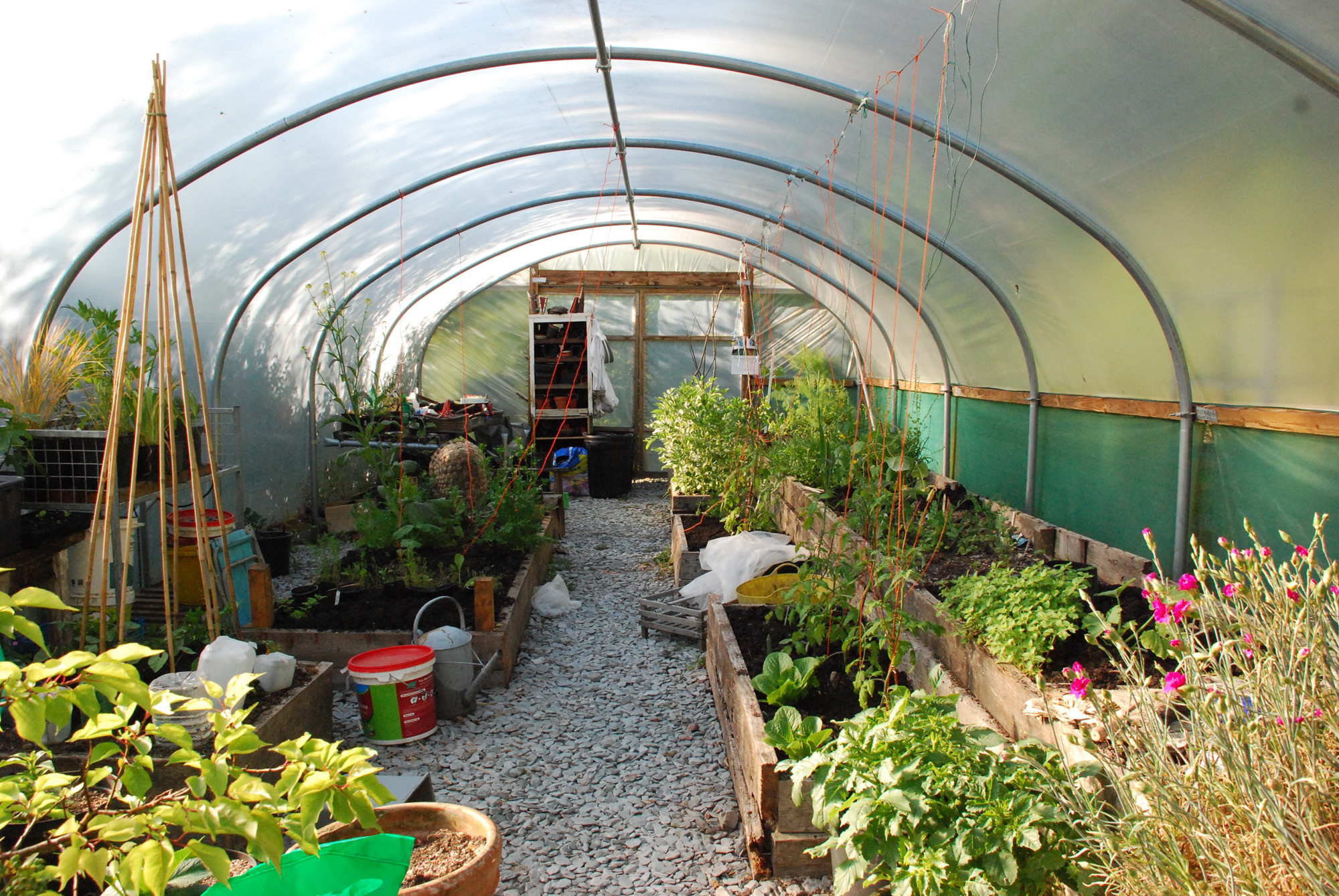 In the polytunnel in late May - broadbeans in flower, salads, young courgettes, cucumbers, pumpkins and tomatoes