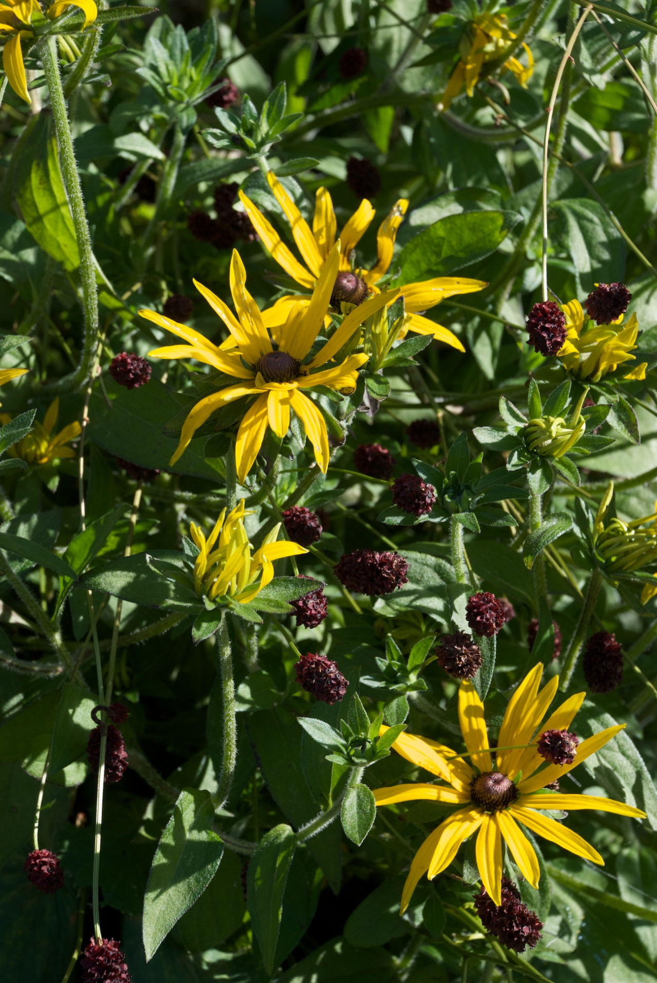 Rudbeckia fulgida 'Goldsturm' just keeps going